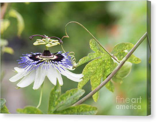 Passionflower Canvas Print - Blue Passion Flower In An English Garden by Tim Gainey