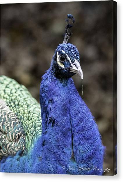 Blue Peacock Canvas Print by John Holloway