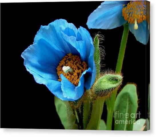 Blue Poppy Canvas Print by Robert Nankervis