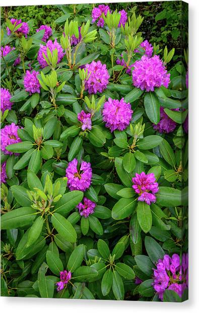 Blue Ridge Mountains Rhododendron Blooming Canvas Print
