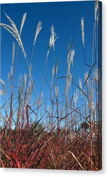 Blue Skies And Grasses Canvas Print