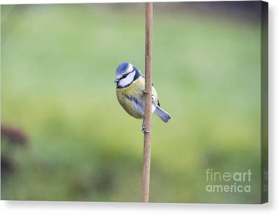 Titmice Canvas Print - Blue Tit On A Garden Cane by Tim Gainey