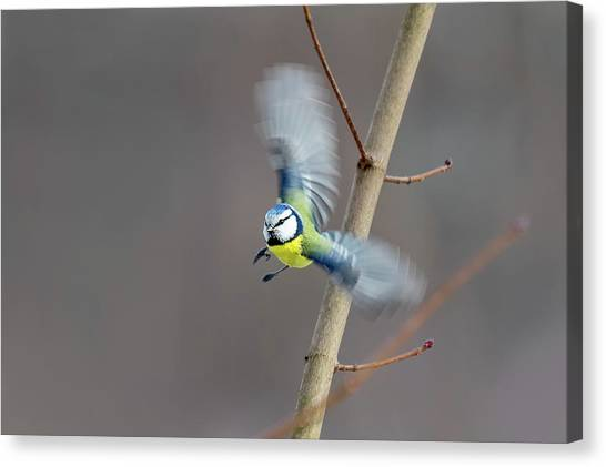 Blue Tit In Flight Canvas Print