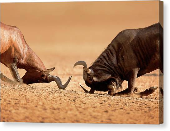 Connect Canvas Print - Blue Wildebeest Sparring With Red Hartebeest by Johan Swanepoel