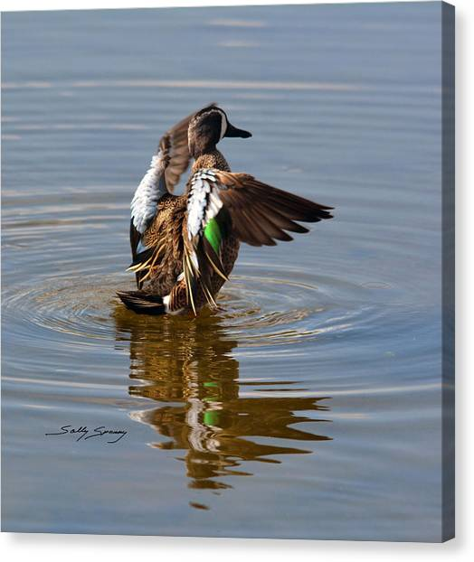 Blue Winged Teal 4 Canvas Print