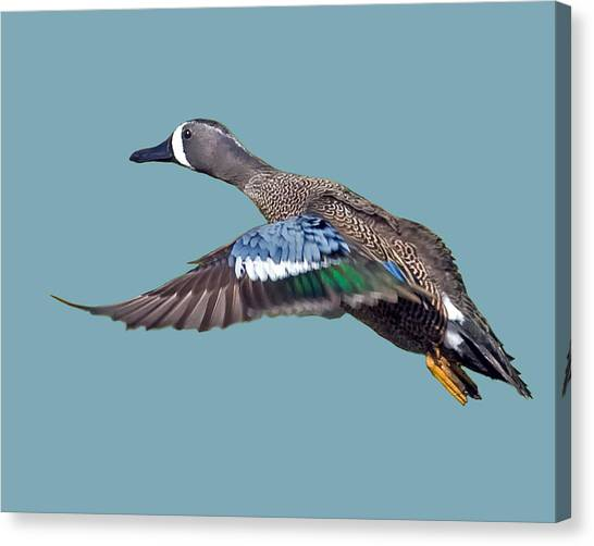Blue-winged Teal Canvas Print
