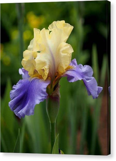 Blue Canvas Print - Blue Yellow Iris Germanica by Rona Black