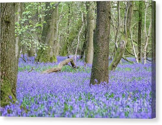 Bluebell Wood - Hyacinthoides Non-scripta - Surrey , England Canvas Print