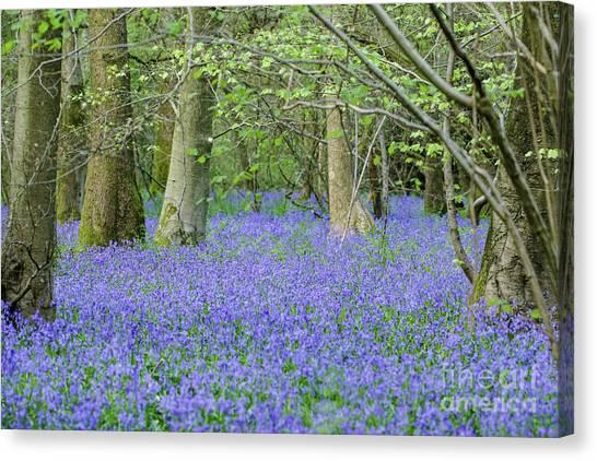 Bluebell Woodland Hyacinthoides Non-scripta, Surrey , England Canvas Print