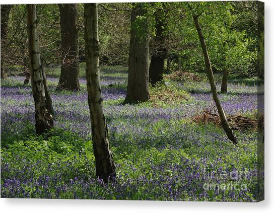 Bluebell Woods Canvas Print by Catja Pafort
