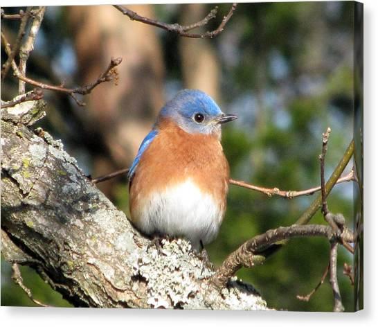 Bluebirds Canvas Print - Bluebird by Amy Tyler