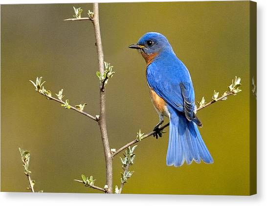 Bluebird Bliss Canvas Print