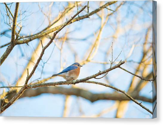 Bluebird In Tree Canvas Print