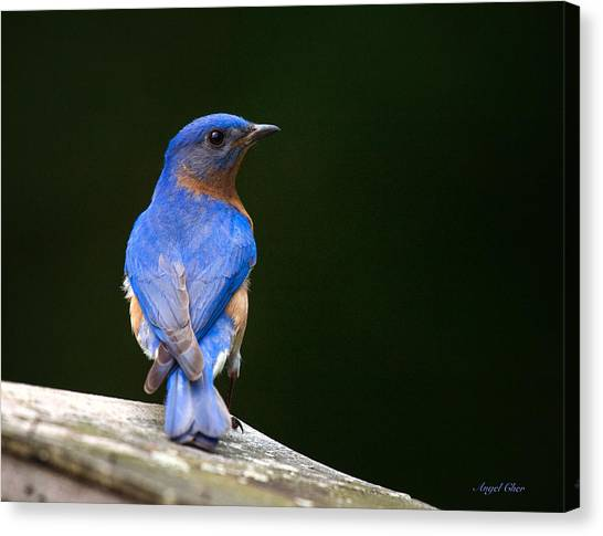 Canvas Print featuring the photograph Bluebird Male by Angel Cher