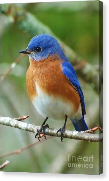 Bluebird Canvas Print - Bluebird On Branch by Crystal Joy Photography