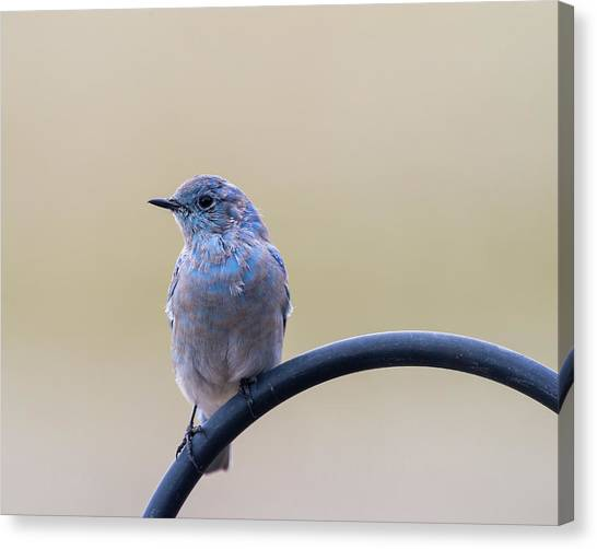 Canvas Print featuring the photograph Bluebird Portrait by John Brink