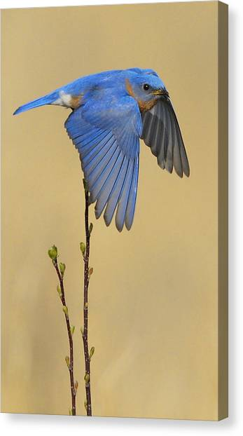 Bluebird Takes Flight Canvas Print