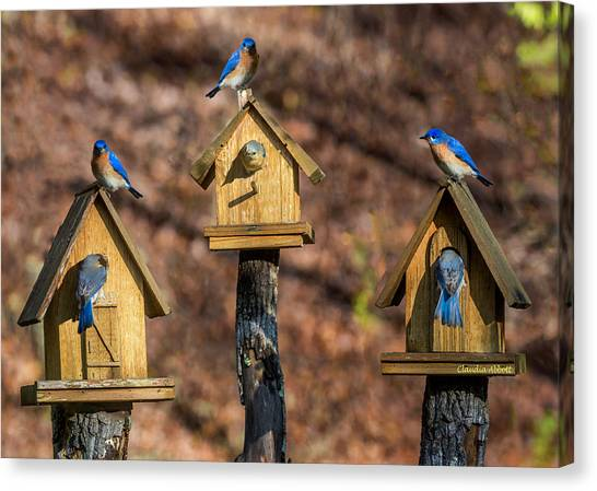 Canvas Print featuring the photograph Bluebirds by Claudia Abbott