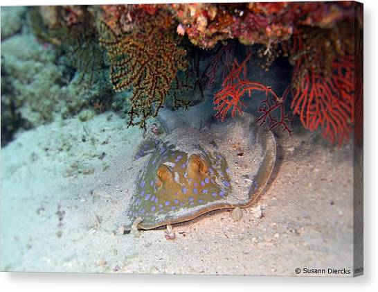 Biology Canvas Print - Bluedotted Ribbontail Ray by Susann Diercks