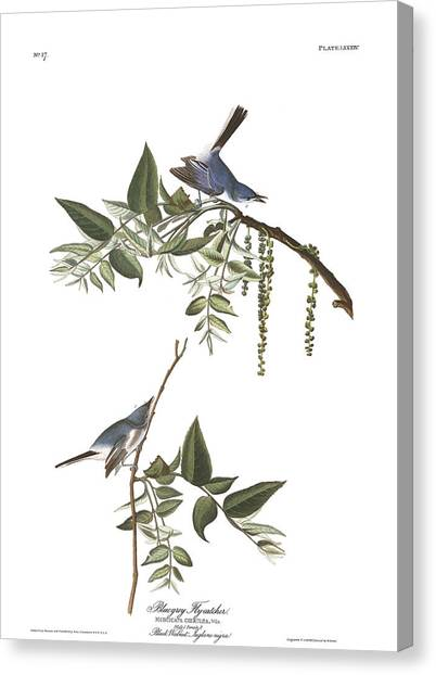 Flycatcher Canvas Print - Bluegrey Flycatcher by John James Audubon