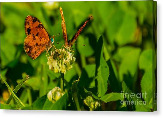 Bluehead Butterfly Canvas Print