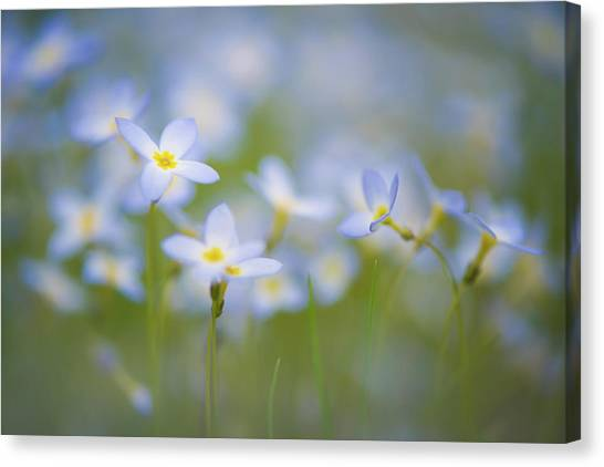 Bluets / Innocence Canvas Print