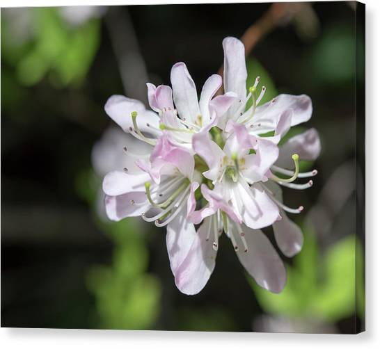 Blushing Azaleas Canvas Print