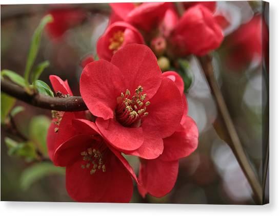 Blushing Blooms Canvas Print