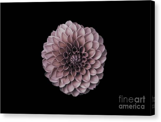 Blushing Dahlia  Canvas Print
