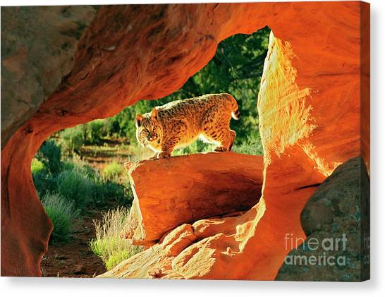 Bobcat Canvas Print by Dennis Hammer