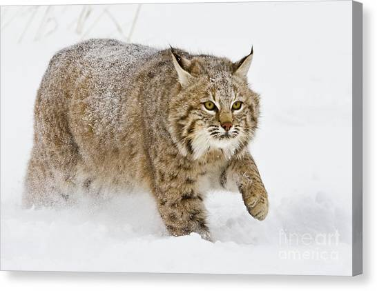 Bobcat In Snow Canvas Print