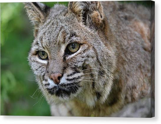 Bobcat In The Trees Canvas Print