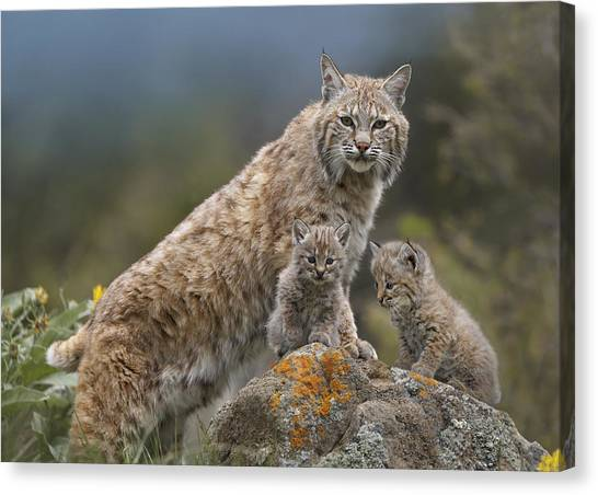 Carnivore Canvas Print - Bobcat Mother And Kittens North America by Tim Fitzharris