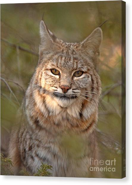 Bobcat Portrait Surrounded By Pine Canvas Print