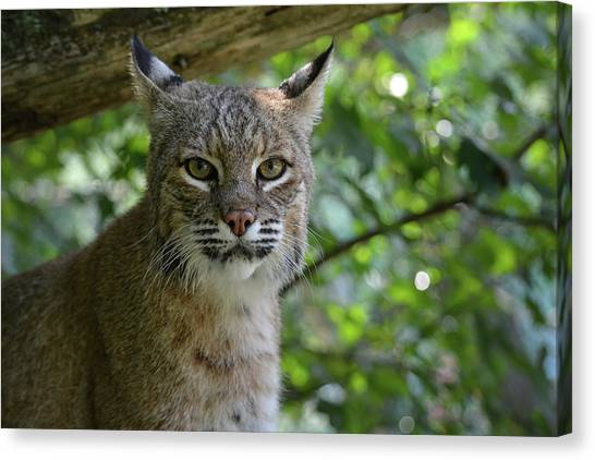 Bobcat Staring Contest Canvas Print