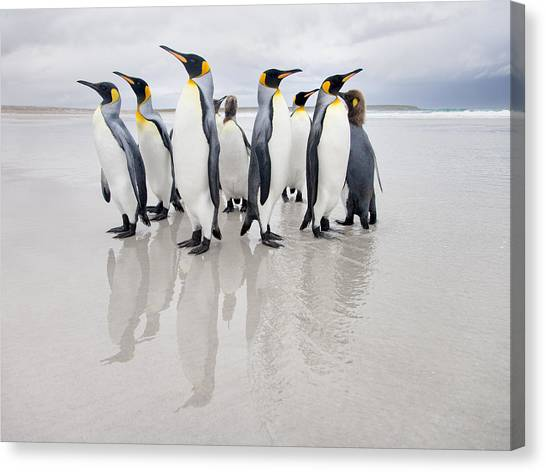 Penguins Canvas Print - Bodyguard by Joan Gil Raga