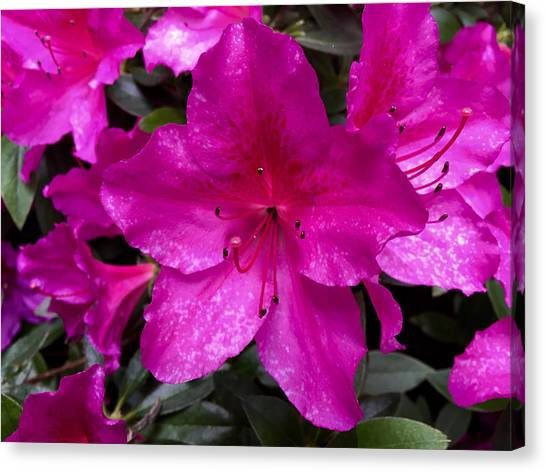 Bold Pink Flower Canvas Print