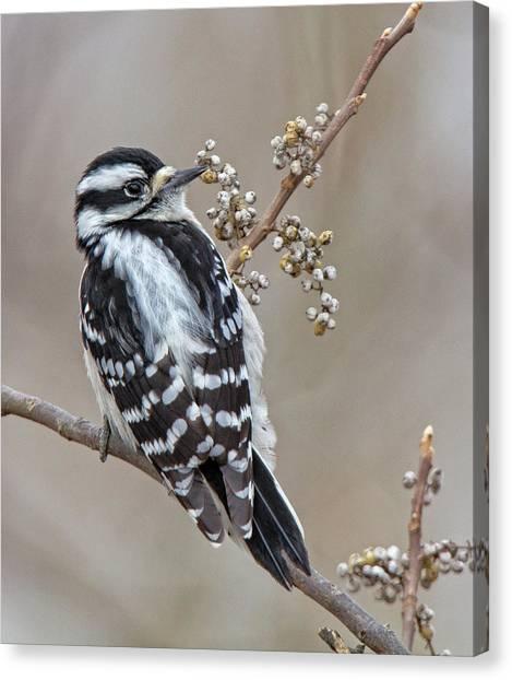 Bombay Hook Woodpecker Canvas Print