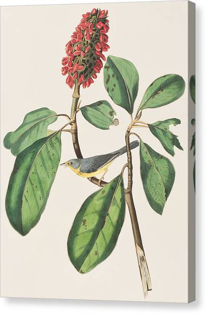 Flycatchers Canvas Print - Bonaparte's Flycatcher by John James Audubon