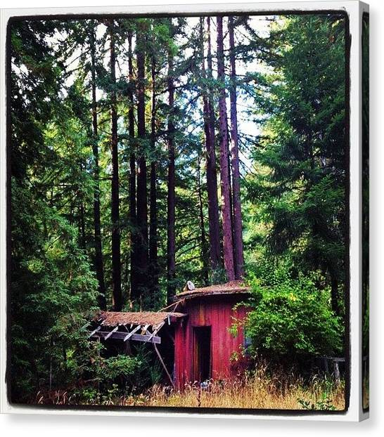 Redwood Forest Canvas Print - Boom Shack A Lack! by Amy Beam