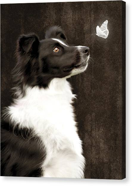 Border Collie Dog Watching Butterfly Canvas Print