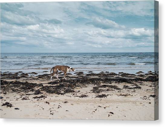 Borzoi Dog Stalking Alnmouth Beach Canvas Print by Jean Gill