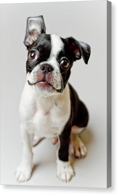 Puppies Canvas Print - Boston Terrier Dog Puppy by Square Dog Photography