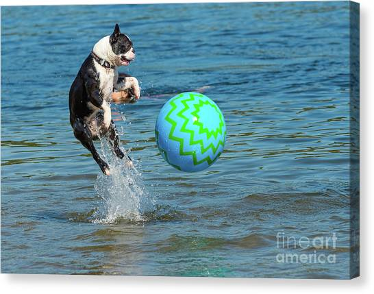 Boston Terrier High Jump Canvas Print