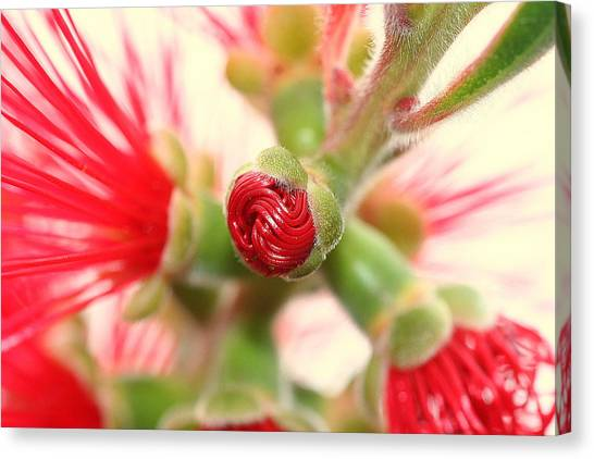 Bottle Brush Bloom Canvas Print by Kerry Reed