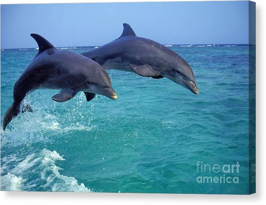 Bottlenose Dolphins Canvas Print - Bottle-nosed Dolphin by Thomas and Pat Leeson