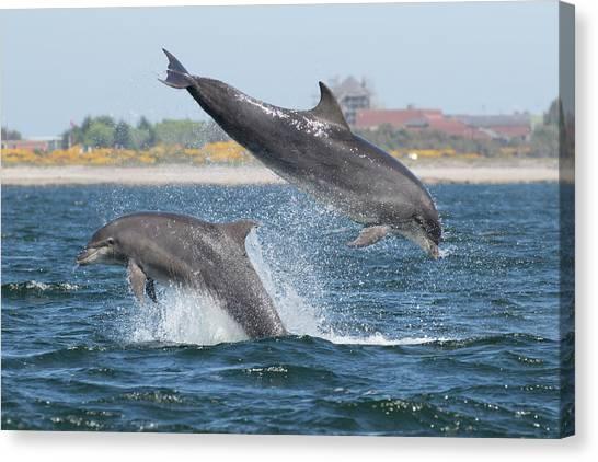 Canvas Print featuring the photograph Bottlenose Dolphin - Moray Firth Scotland #48 by Karen Van Der Zijden