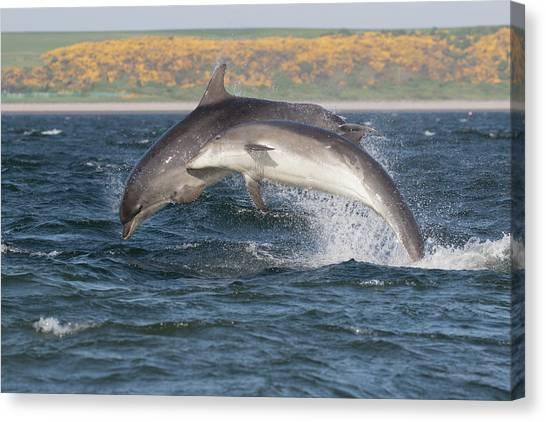 Canvas Print featuring the photograph Bottlenose Dolphins - Moray Firth Scotland #47 by Karen Van Der Zijden