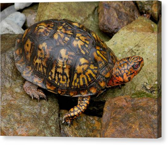Box Turtle Canvas Print by Laura Corebello