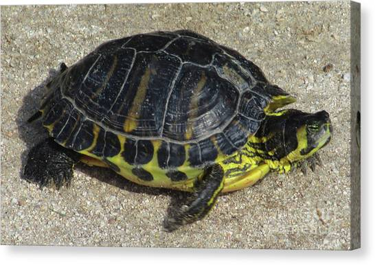 Box Turtles Canvas Print - Box Turtle by Randall Weidner